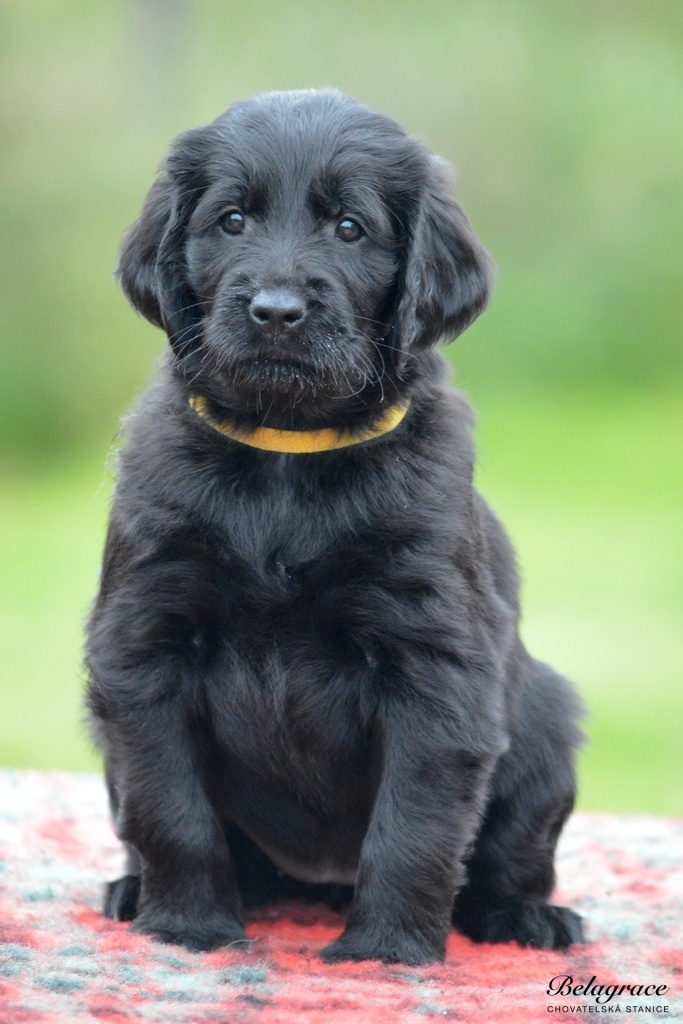 VRH A - Flat Coated Retriever